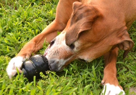 Brown dog chewing on Kong Extreme Black Rubber toy trying to get treats out