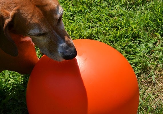 Brown dog nuzzling herding ball with nose