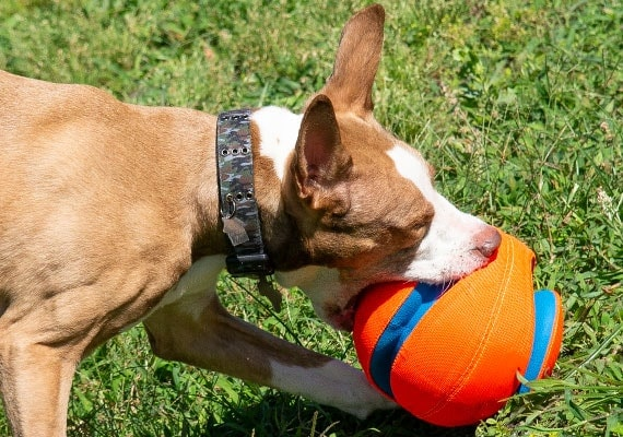 Brown dog picking up Large Chuckit Kick Fetch soccer ball in mouth