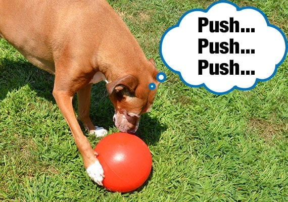 Brown dog pushing a herding ball around with his paw