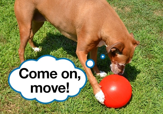 Brown dog pushing the best herding ball dog toy, the Jolly Pets Push N Play, with his paw