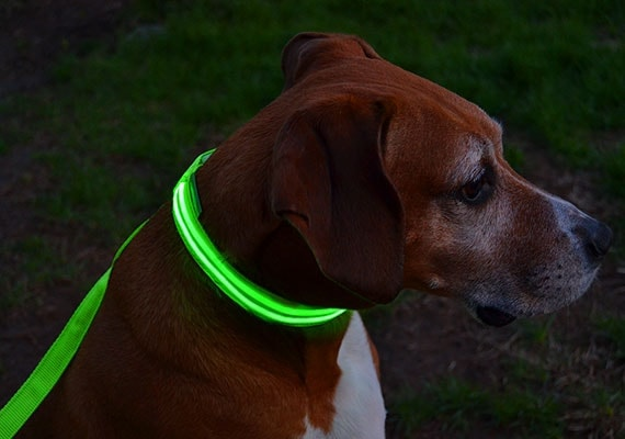 Brown Dog wearing clip on LED dog collar with leash