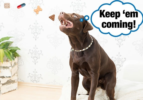 Brown labrador catching dog treats in his mouth unaware that one of them is hiding a pill