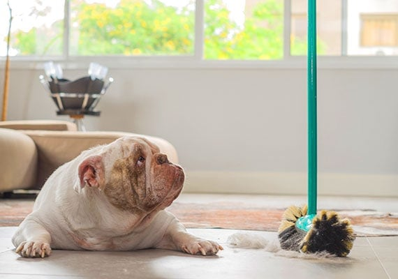 Bulldog resting on hard tile floor while hair and fur is being swept up around him with broom