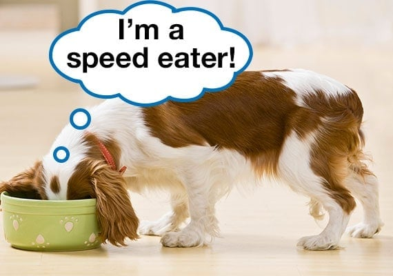 Cavalier King Charlse Spaniel with head in dog bowl eating as fast as he can