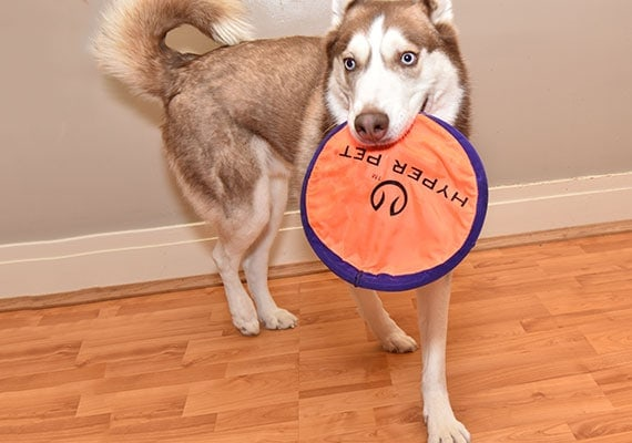 Ceaser the husky holding Hyper Pet Flippy Flopper Frisbee in mouth