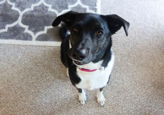 Chelsie's dog, Harper Australian Shepherd x Australian Cattle Dog
