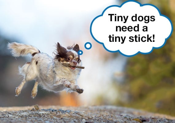 Chihuahua leaping in air while carrying small wooden stick in mouth