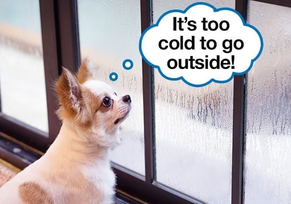 Chihuahua looking outside to discover it's too cold to pee outside