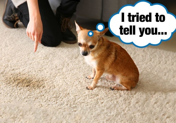 Chihuahua Pee on carpet because he couldn't get outside