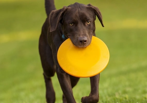 Chocolate Labrador carrying hard plastic Frisbee in mouth in park