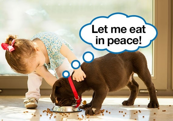 Chocolate Labrador puppy being harassed by toddler while trying to eat his dry dog food