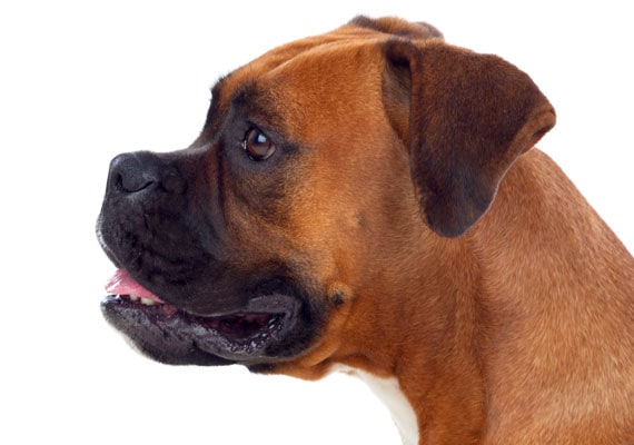 Close-up of flat-face of Boxer, side view