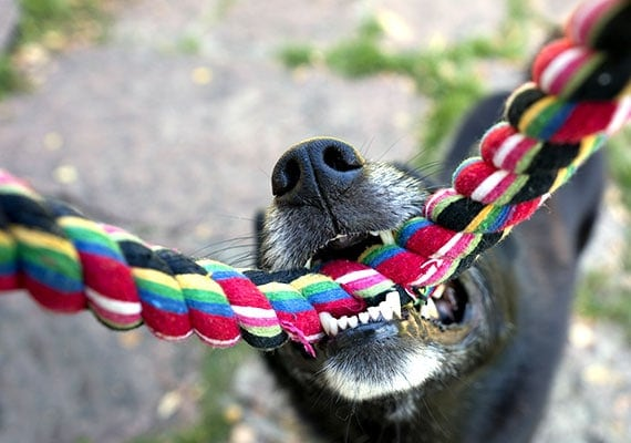 Close-up on sharp teeth of dog chewing rope toy