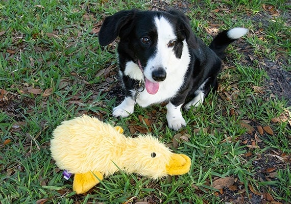 Corgi Border Collie Mix playing with duckworth duck plush dog toy