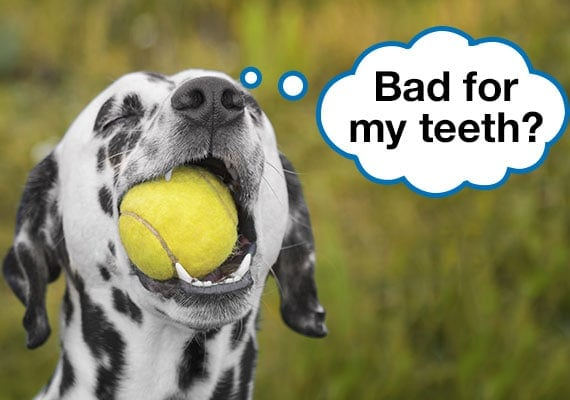 Dalmatian dog chewing on fuzzy tennis ball with teeth