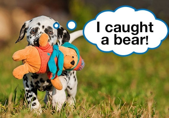 Dalmatian puppy walking in park on grass carrying bear plush dog toy in mouth