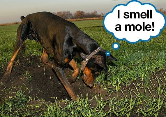 Doberman Pinscher digging up grass while hunting a mole