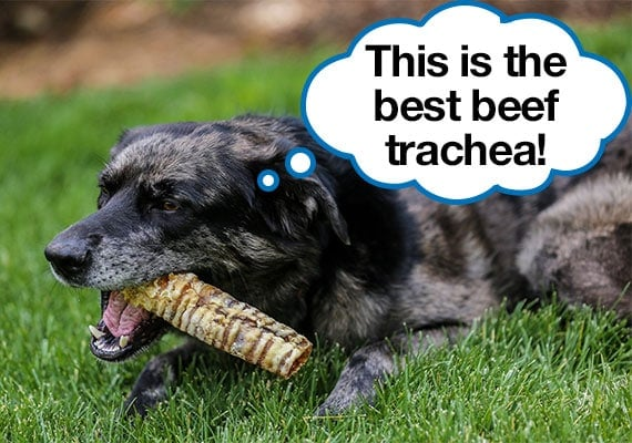 Dog chewing on our number one best beef trachea recommendation