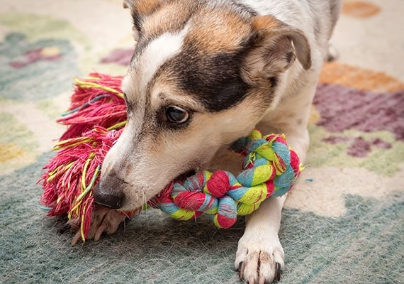 Dog playing with braided rope toy on carpet in house