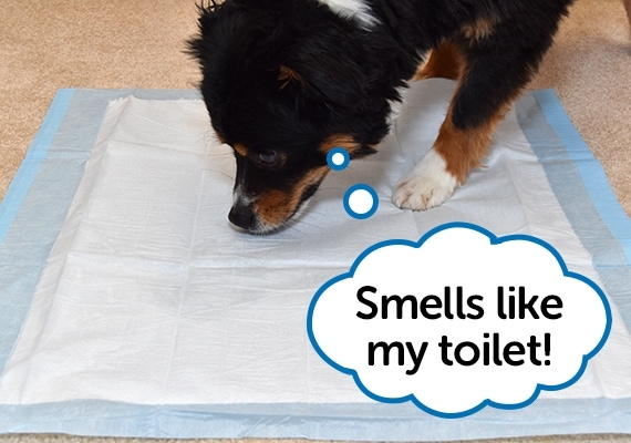 Dog sniffing puppy pee pad that has been sprayed with potty training attractant