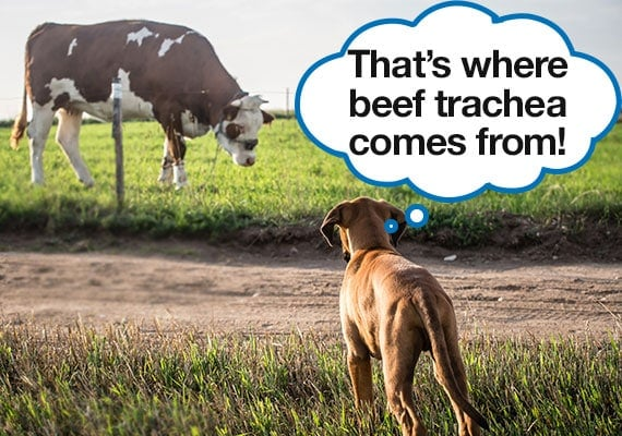 Dog staring at cow in field learning where beef trachea comes from