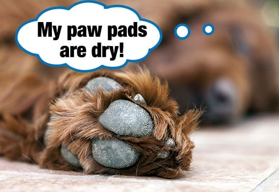 Brown retriever Dog with dry paw pads resting on slippery floor tiles