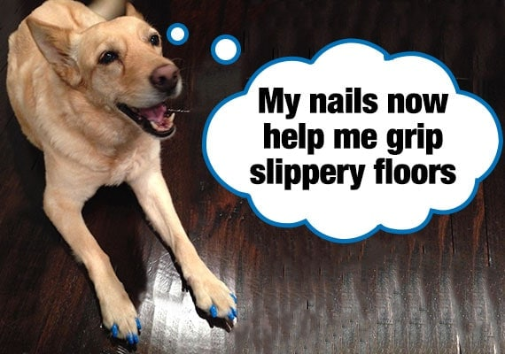 Dog with toe treads sitting on slippery hardwood floor