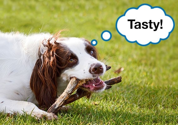 English Springer Spaniel gnawing on a wooden stick at park