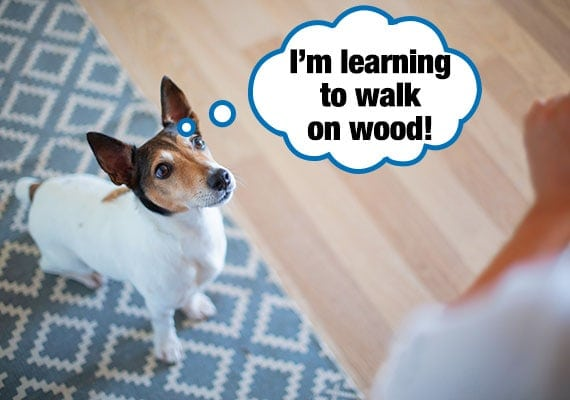 Fox terrier being trained to walk on slippery hardwood floor