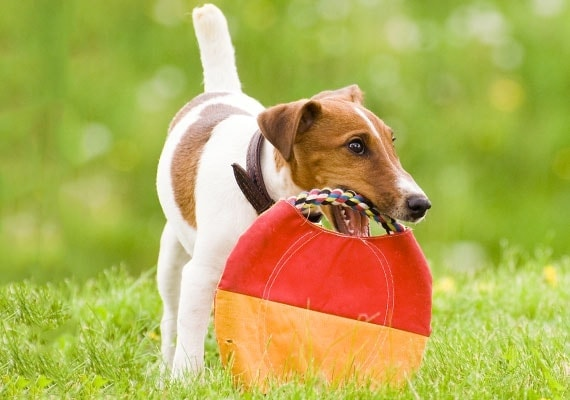 Fox Terrier chewing on soft fabric Frisbee toy made from fabric and rope
