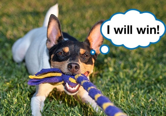 Fox Terrier pulling on rope toy playing tug-of-war with owner