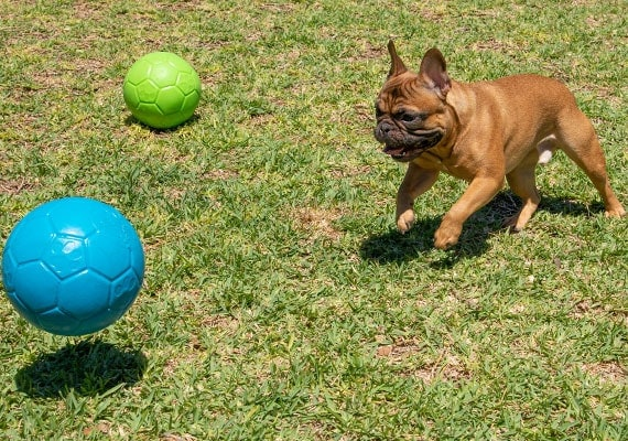 French Bulldog chasing jolly pets dog soccer ball