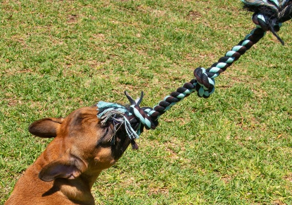 French Bulldog tuggong on Mammoth 3 knot dog rope