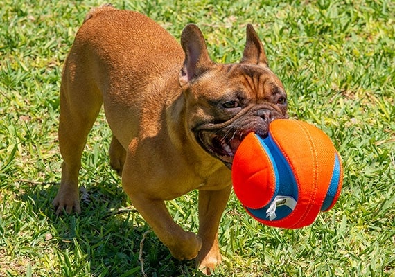 French Bulldog Carrying Chuckit! Kick Fetch soccer ball in mouth at dog park