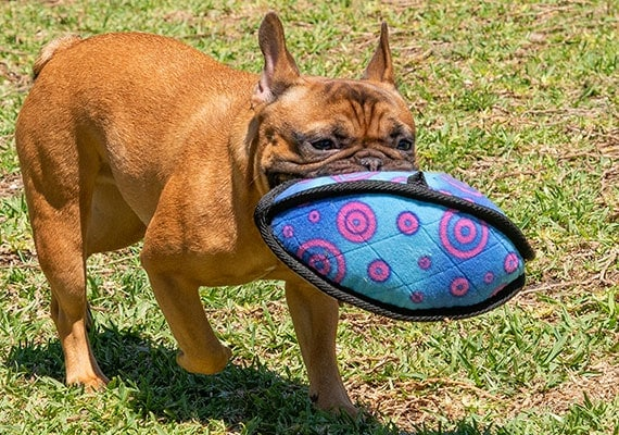 French Bulldog Carrying Kong Ballistic football in mouth