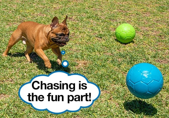 French Bulldog chasing after Jolly Soccerball Dog Toy
