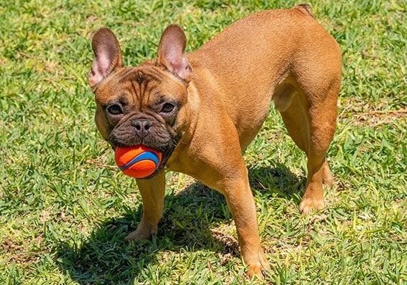 French Bulldog Holding Chuckit! Ultra Bounce Tennis Ball in mouth at park