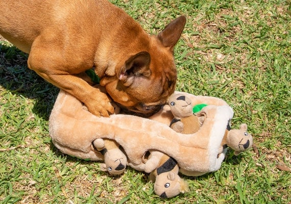 French Bulldog playing with Outward Hound hide a squirrel plush dog toy