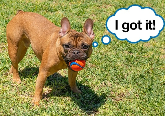 French Bulldog playing with the Chuckit Ultra Best Tennis Ball Dog Toy