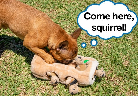 French Bulldog puppy playing with Hide-A-Squirrel Best plush dog toy