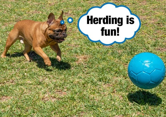 French Bulldog Pushing and chasing a Jolly Soccer Ball herding ball