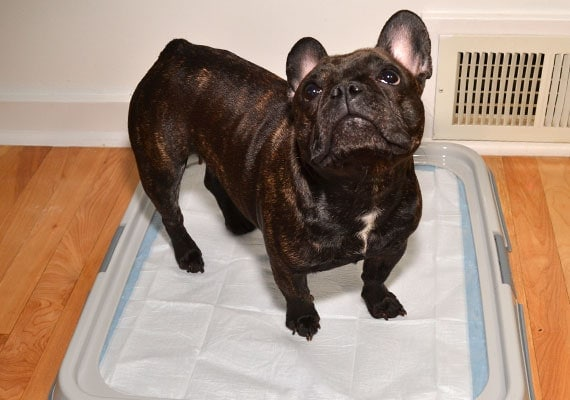 French Bulldog standing on Dogit Puppy Pad Holder Tray with pee pad inside