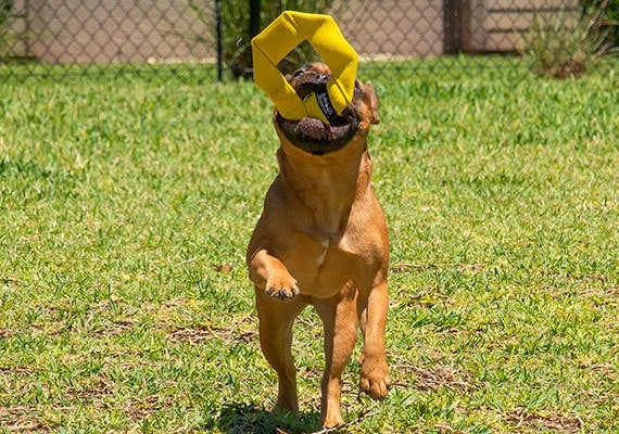 French Bulldog Catching Fire Hose Frisbee Dog Toy in Mid-Air