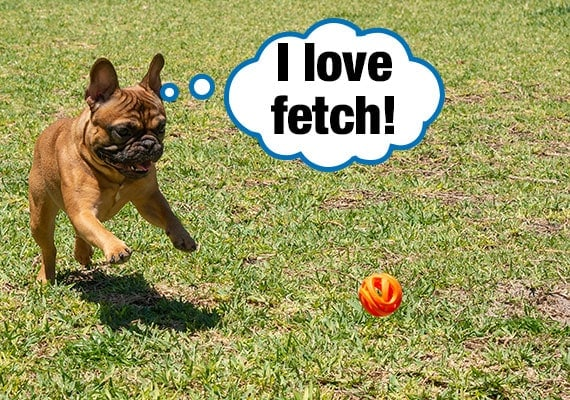 French Bulldog chasing after ball while testing the best dog toys
