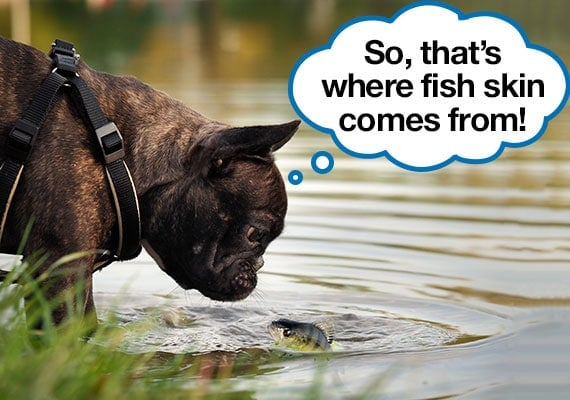 French bulldog looking at fish in lake learning where fish skin dog treats come from