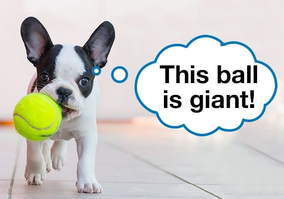 French Bulldog puppy carrying tennis ball in mouth