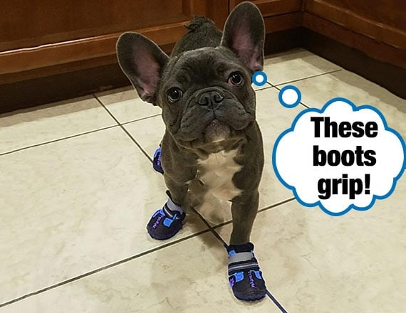 French Bulldog wearing dog boots confidently walking on slippery floor tiles