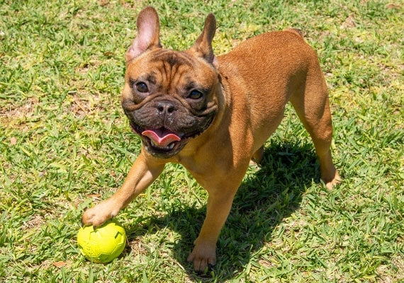 French Bulldog with her paw on small Nerf Squeaky soccer ball dog toy