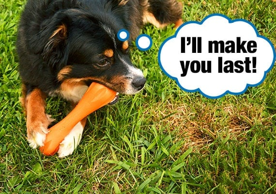 Gentle dog softly chewing on orange bone shaped chew toy